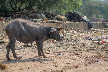 Indian urban or feral pig in a slum area in an urban city in Maharashtra in India