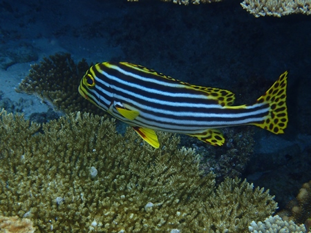 Striped fish in the Indian Ocean