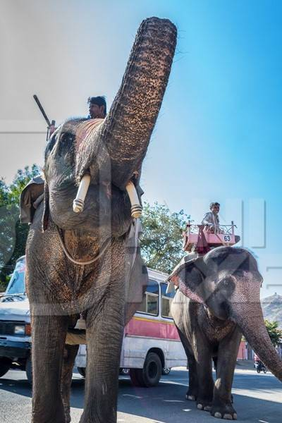 Elephant raising trunk used for entertainment tourist ride walking on street in Jaipur