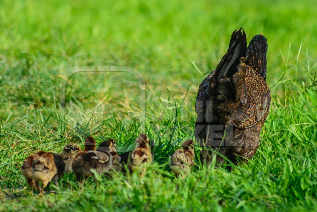 Free range mother chicken with chicks in a green field in Nagaland in Northeast India