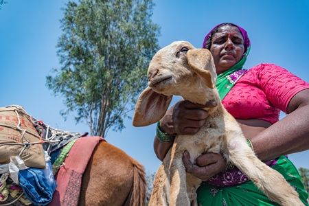 Indian nomad lady carrying baby sheep or lamb in a field in rural Maharashtra, India