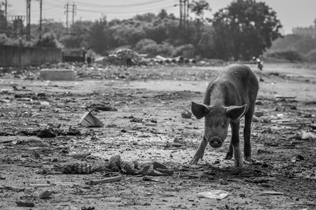 Indian urban or feral pigs in a slum area in an urban city in Maharashtra in India in black and white