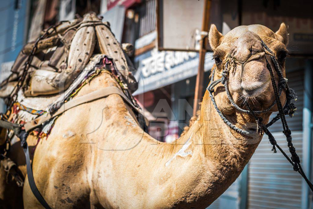Brown working camel in harness on city street in Bikaner in Rajasthan