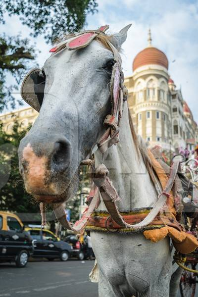 Close up of head of grey horse used for tourist carriage rides in Mumbai