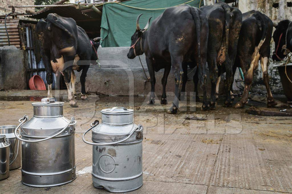 Dairy cows standing in a line with metal milk cans in an urban dairy in Maharashtra