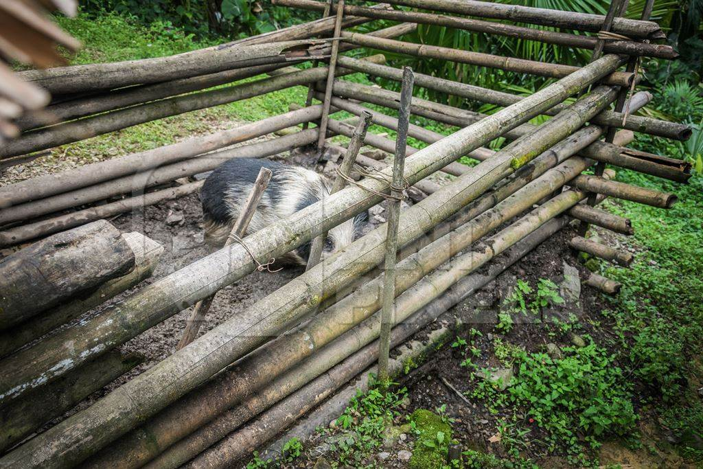 Farmed black and white pig in a wooden pig pen in Nagaland in Northeast India