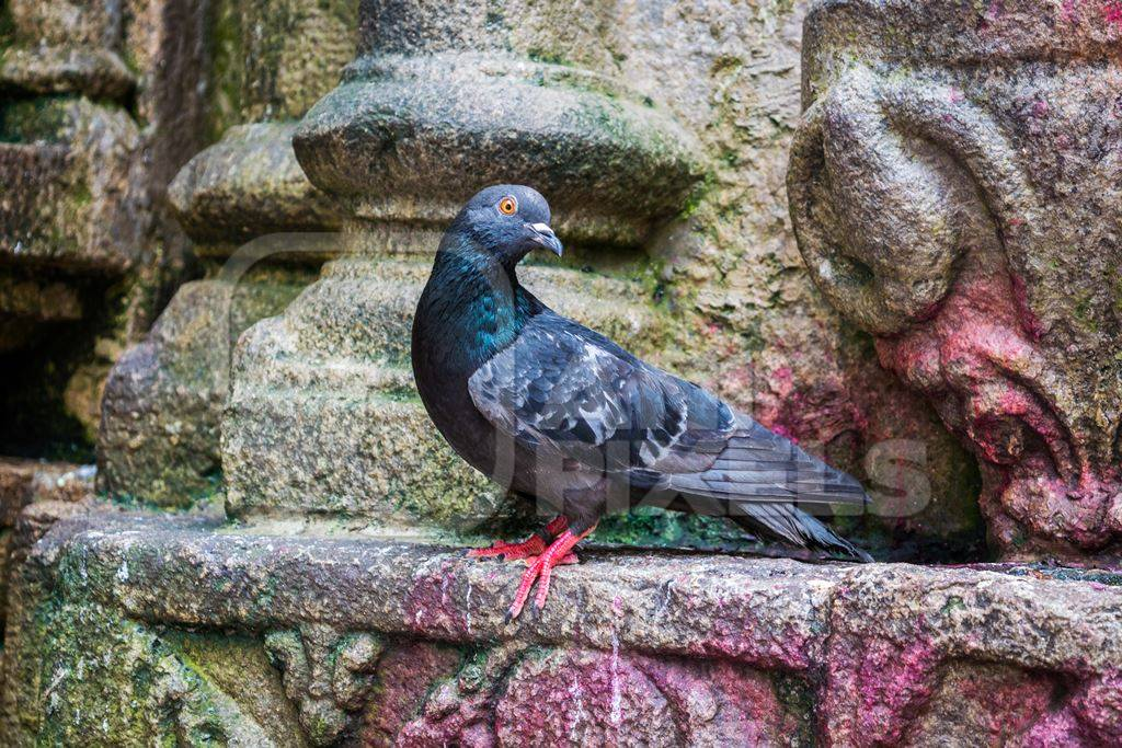 Pigeon saved from religious sacrifice at Kamakhya temple in Guwahati in Assam