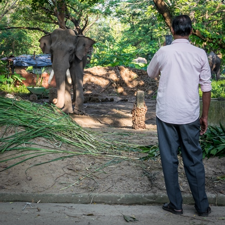 Man with mobile phone taking photos of captive elephant in chains at an elephant camp in Guruvayur in Kerala to be used for temples and religious festivals