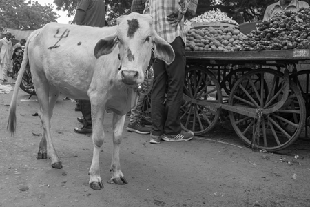 Indian street cow or bullock calf walking in the road in small town in Rajasthan in India in black and white
