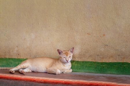 Photo of stray ginger Indian street cat lying on the street with orange background, in India