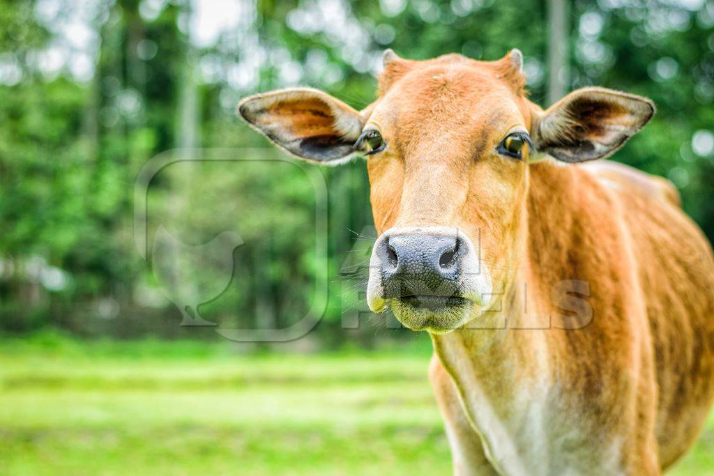 Brown Indian farmed dairy cow in a green field in a village on a farm in rural Assam, India