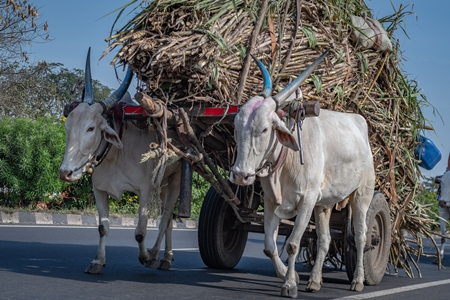 Many working Indian bullocks pulling sugarcane carts working as animal labour in the sugarcane industry in Maharashtra, India, 2020