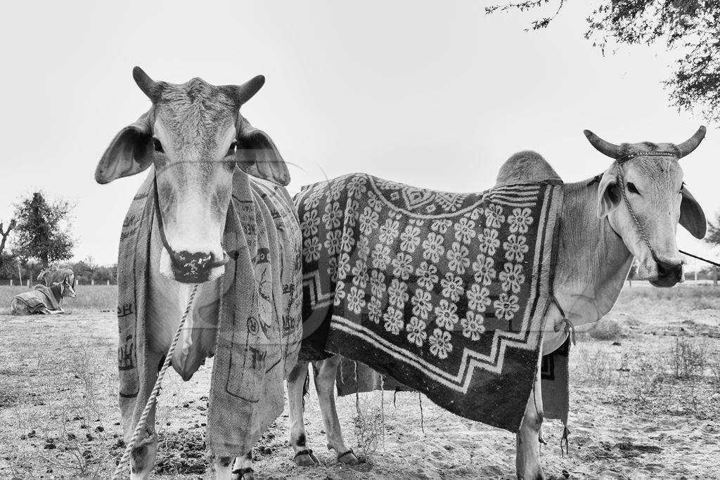 Two bullocks standing with blankets at Nagaur cattle fair in black and white