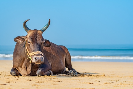Indian cow or bull with large horns sitting on the beach in Maharashtra, India with blue sky background