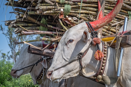 Close up of working Indian bullocks pulling sugarcane carts working as animal labour in the sugarcane industry in Maharashtra, India, 2020