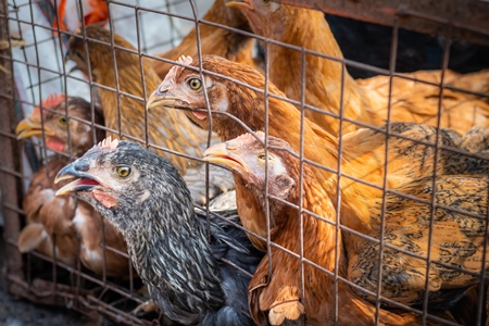 Chickens in a cage trying to escape and panting in the heat at a live animal market at Juna Bazaar, in the city of Pune, India