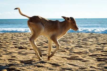 Calf on the beach in Goa, India