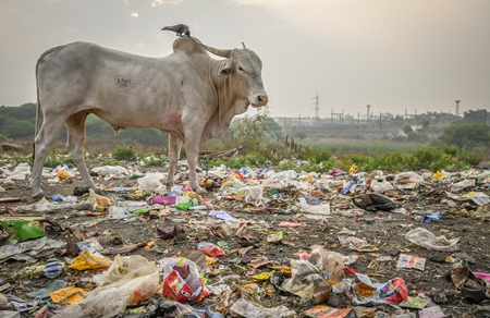Indian street cow or bullock eating from garbage dump with plastic pollution in urban city of Maharashtra, India, 2021