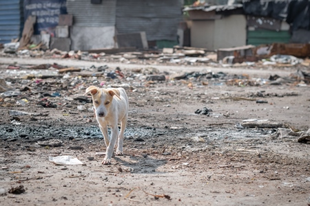Indian street or stray white puppy dog in a slum area in an urban city in Maharashtra in India