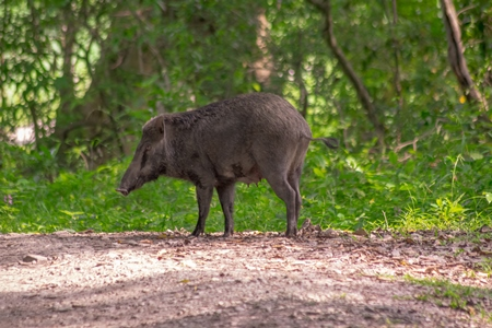 Indian wild boar with green vegetation in Kaziranga National Park in Assam in India