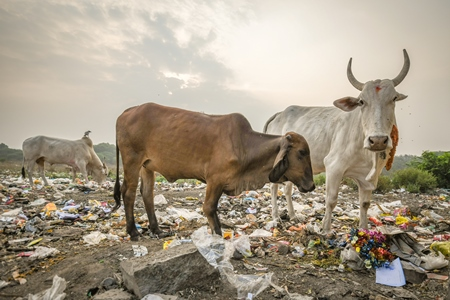 Indian street cows or bullocks eating from garbage dump with plastic pollution in urban city of Maharashtra, India, 2021