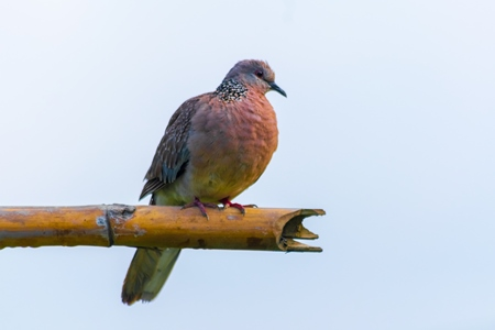 Indian spotted dove wild bird in Assam in India