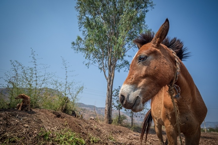 Working Indian horse or pony used for animal labour owned by nomads in rural Maharashtra
