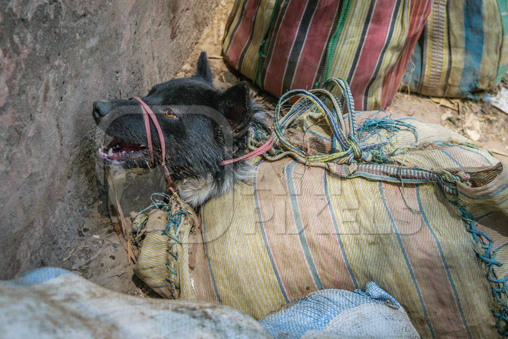 Dog crying tied up in sacks on sale for meat at dog market