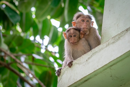 Two macaque monkeys mother and baby sitting on the ledge of a building with green trees in the background in Kerala, India
