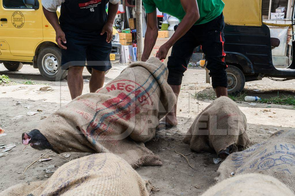 Pigs tied up in sacks and on sale for meat at the weekly animal market