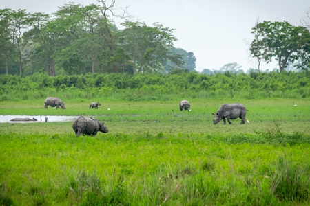 Photo of herd of many Indian one-horned rhinos in landscape with green vegetation in Kaziranga National Park in Assam in India