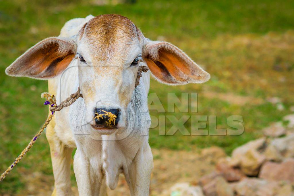 Brown and white cow in green field in town of Bodhgaya, Bihar