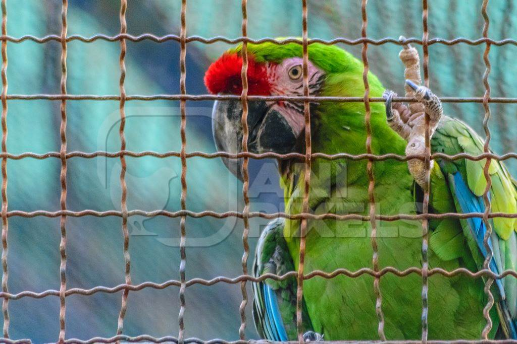 Green macaw parrot behind bars in captivity at Byculla zoo