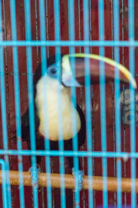 Toucan exotic bird in a cage on sale at Crawford pet market in Mumbai, India