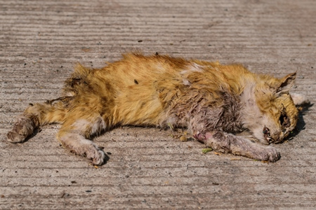 Dead Indian stray street cat killed in road traffic accident, India