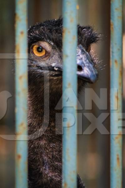 Emu in captivity with tattered feathers looking through bars of dirty cage