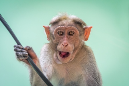 Cute and funny macaque monkey looking at the camera with green background in Kerala, India