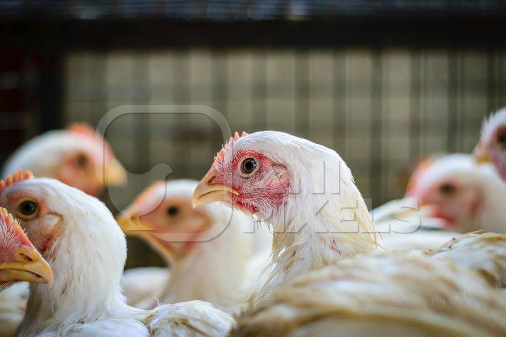 Broiler chickens packed into a cage at a chicken shop