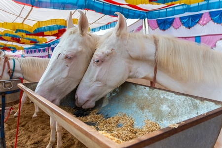 White Indian horses on sale at a horse fair inside Pushkar camel fair in Pushkar, Rajasthan in India