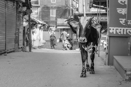 Indian street cow walking down the road in a small town in Maharashtra, India in black and white
