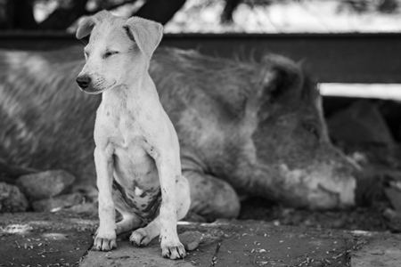 Indian street or stray puppy dog and urban or feral pig in a slum area in an urban city in Maharashtra in India in black and white
