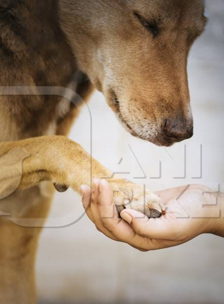 Volunteer animal rescuer holding the paw of a brown street dog