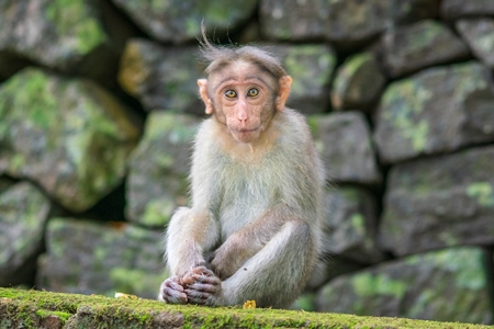 Cute young macaque monkey looking at the camera with stone wall background