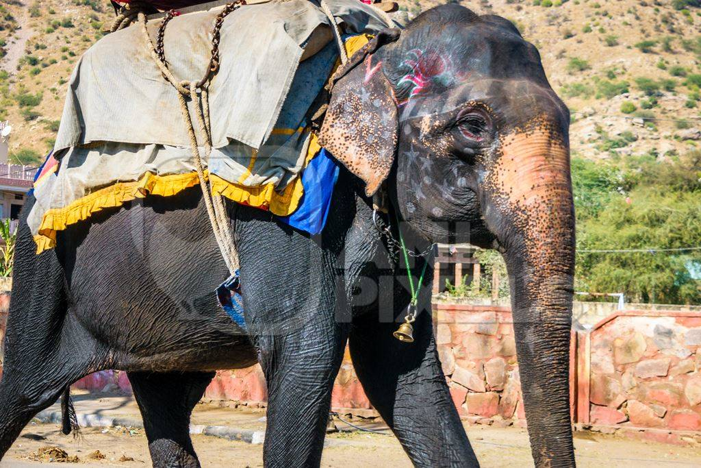 Painted elephant used for entertainment tourist ride walking on street in Ajmer
