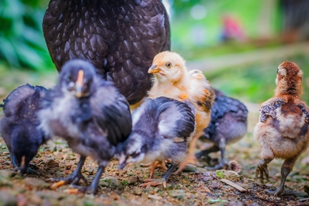 Flock of small cute baby chicks