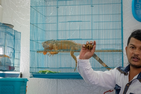 Iguana in cage on sale illegally as pet at Crawford pet market in Mumbai
