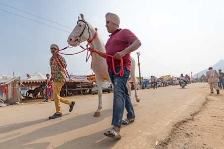 Two men leading a white Indian horse at a horse fair inside Pushkar camel fair in Pushkar, Rajasthan in India