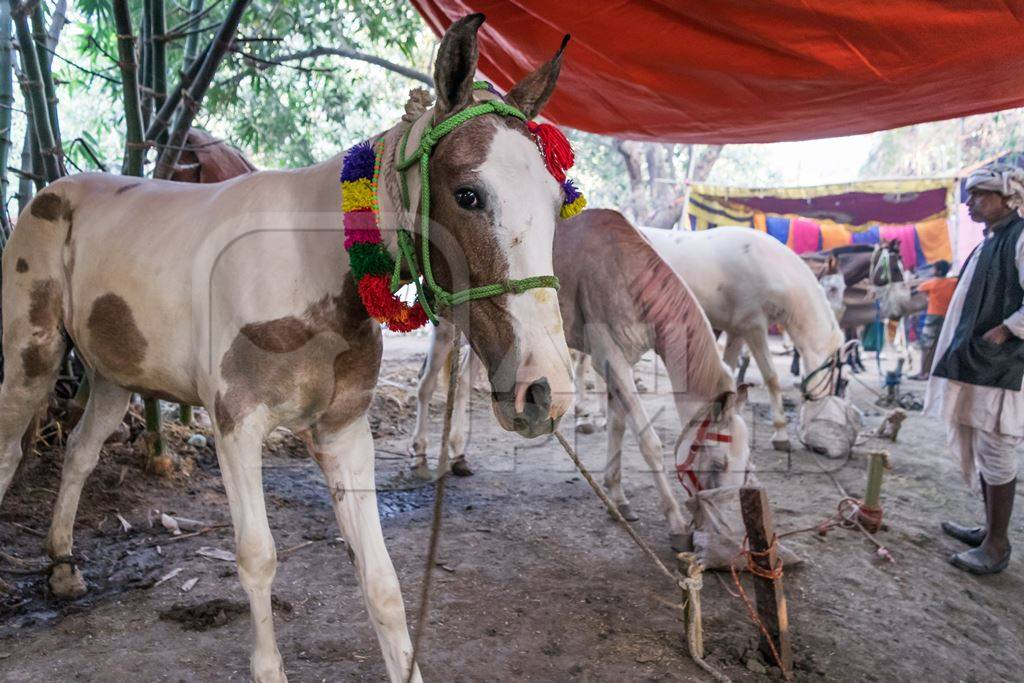 White horses tied up in a line and eating at Sonepur cattle fair