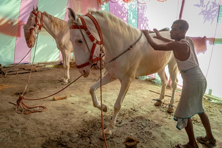 White horses tied up on show in a tent at Sonepur horse fair or mela in rural Bihar, India