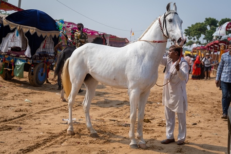White Indian horse at Pushkar camel fair, Rajasthan, India, 2019